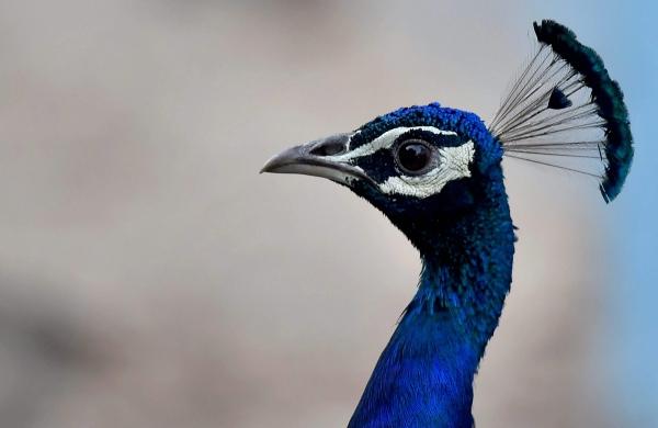 Amid bird flu cases, 5 peacocks found dead in Madhya Pradesh'sJhabua