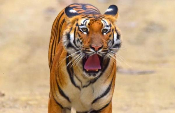 Further relocations only after translocated tigers settle down in new habitat: NTCA