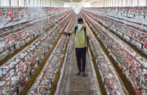 Meghalaya bans import of poultry from Assam amid bird flu scare
