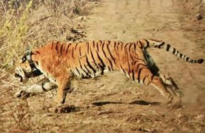 Relocated tiger flees Rajaji Tiger Reserve, forest department in huddle to track it