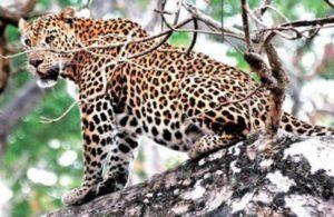 Stuck for hours in wild boar trap, leopard dies in Jharkhand's Bhimtari jungles
