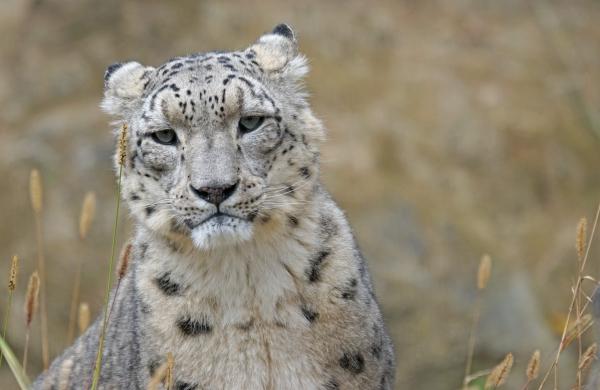 Uttarakhand to start 'Snow Leopard tour', pilot project in Uttarkashi district