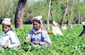 Assam polls: Tea garden workers slam ruling BJP for 'meagre' hike in wages