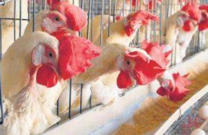 Avian flu: 17,000 poultry birds to be culled in Gujarat's Tapi