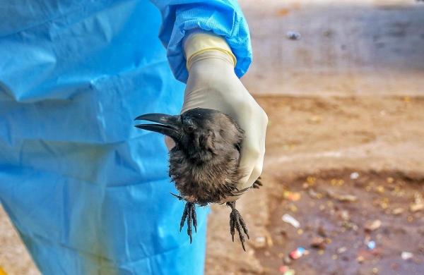 Bird flu scare: Two areas in Srinagar declared alert zones