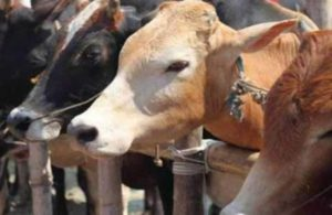 One held in Ghaziabad after gunfight with cops for allegedly slaughtering cows