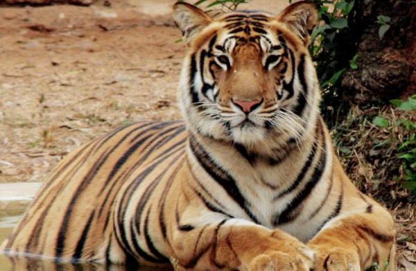Alert sounded in Corbett Tiger Reserve over poacher threat