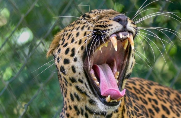 MP: Leopard strays into Indore's residential area; injures five