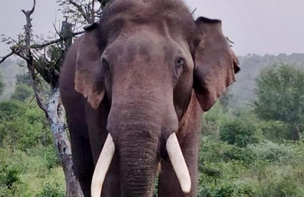 Paddy centre's watchman killed by elephants in Chhattisgarh