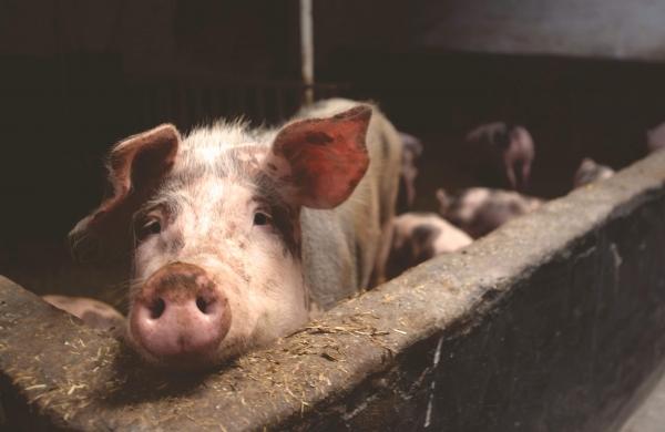 87 pigs die in Mizoram village near Bangladesh border, panic over Swine Flu suspicion