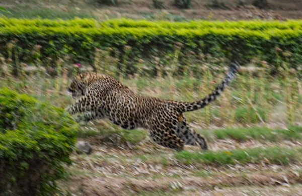 Leopard strays into posh Jammu locality, injures three before being captured