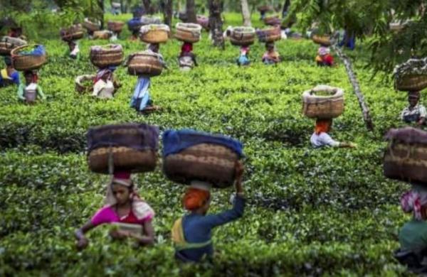Onsite registration for COVID vaccinesat Assam tea gardens for 18-44 group