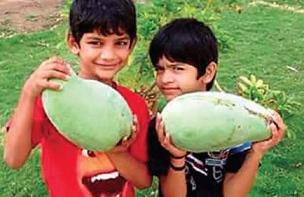 MP: 'Noorjahan' mangoes fetching rate up to Rs 1,000 apiece