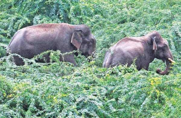 Chhattisgarh to 'experiment' offering surplus paddy to wild elephants