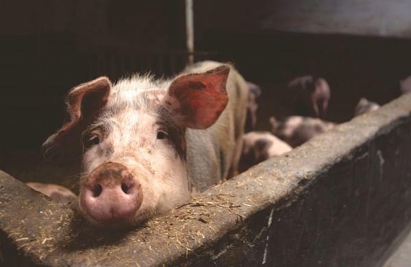 Mizoram: 25,000 pigs die of African Swine Fever in 5 months, causing Rs 121 crore loss