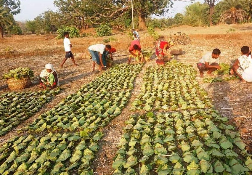 राज्य में बिलासपुर वन वृत्त अंतर्गत सर्वाधिक 2.77 लाख मानक बोरा तेन्दूत्ता का संग्रहण