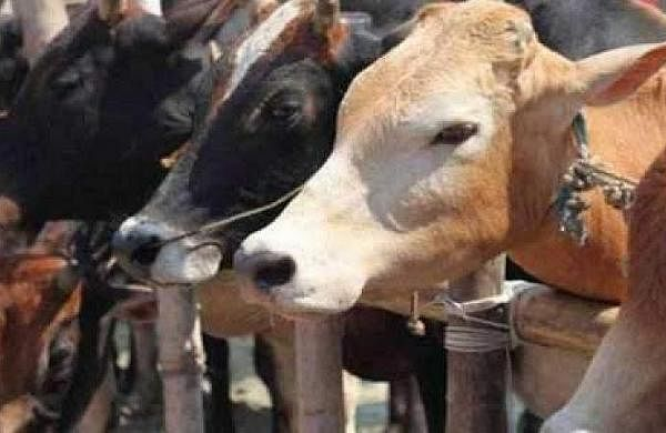 'Cow asnational animal will strengthen brotherhood': Muslims welcome HC observation