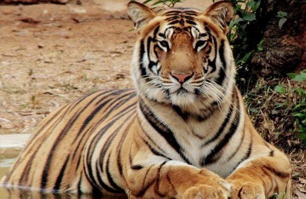 Maharashtra: Tiger spotted in Kinwat range of Nanded district