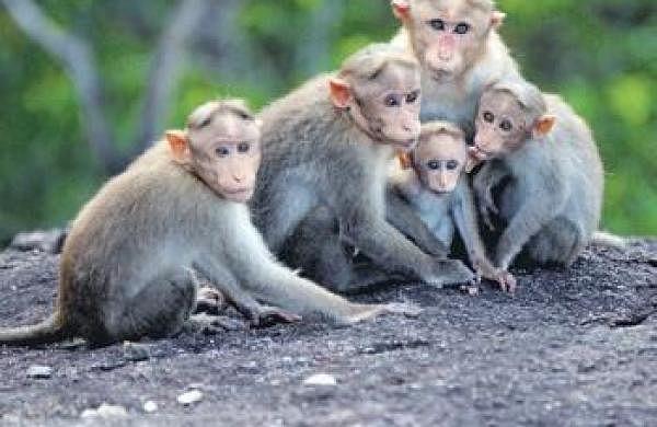 Mathura municipal body nabs 100 monkeys, efforts on to catch more