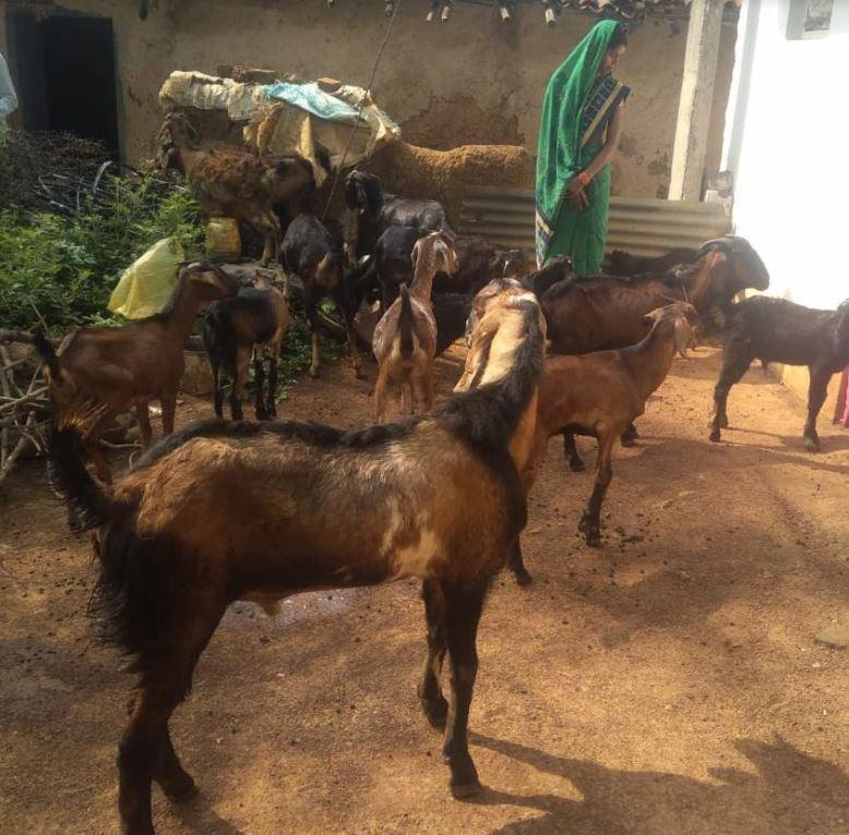 मॉ कौशिल्या स्व-सहायता समूह केबकरियों का कुनबा एक वर्ष के भीतर बढा़ बकरियों ने दिया सात बच्चों को जन्म मुख्यमंत्री ने चंदखुरी गौठान में योजना के तहत प्रदाय किया था बकरी वंशीय पशु