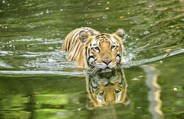 NTCA orders suspension of tourism in core habitat ofRajaji Tiger Reserve